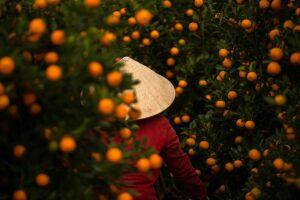 Kumquat Hoi An Vietnam